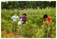 Blueberry Picking 2012